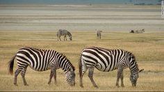 「セレンゲティ国立公園」タンザニア キリマンジャロ Tanzania