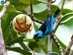 https://www.facebook.com/WonderBirdSpecies/ Blue dacnis/Turquoise honeycreeper (male)(Dacnis cayana); Central and South America; IUCN Red List of Threatened Species 3.1 : Least Concern (LC)(Loài ít quan tâm) || Chim Dacnis xanh (trống); Trung và Nam Mỹ; Họ Tanager-Thraupidae.