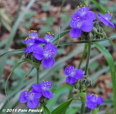 Tradescantia 'Spiderwort,' photographed by Pam Penick (© 2011)