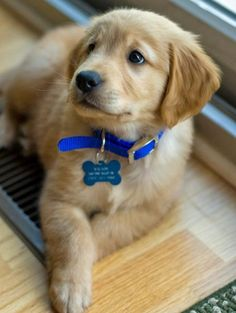 How cute is this puppy with the blue collar?