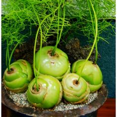 Bowiea volubilis Cebula pnąca Parapet, Caramel Apples, House Plants, Cactus, Succulents, Indoor House Plants, Foliage Plants, Succulent Plants, Houseplants