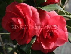 'Romany' Camellia japonica. Formal red flowers. Kinsey Family Farm Gainesville, GA.