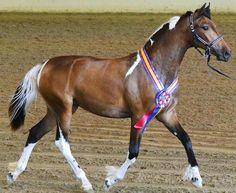 Buckskin Pinto Friesian/Saddlebred Filly, TDR Sjoerd's Moonlight Kisses (Epic)