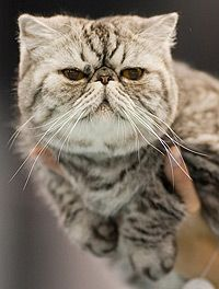 Exotic Shorthair - cutest of all cats!