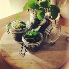 Pilea in weckpot!