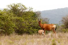 Red Hartebeest with her baby Red Hartebeest standing in the field with her baby.
