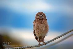 Owlet (Jon Albert / Boston / USA) #Canon EOS 5D Mark III #animals #photo #nature