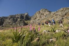 Private Hiking Tour of Table Mountain A hike up Table Mountain is a wonderful adventure not to be missed when you are in Cape Town. The mountain rises over one thousand meters from sea level and offers stunning views of the surrounding city, ocean and mountain range. An experienced hiking and nature guide will give you a deeper insight into the wonders of the Cape Floral Kingdom and natural history of the mountain. Various hiking routes are offered and tailored to the clients'...