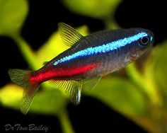 ♥ Pet Fish Stuff ♥   Neon Tetras. I adore these little guys. They grow to be about 2 inches, and really bring color to your tank. They are a schooling fish so make sure to have at least 6.