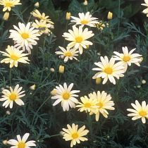 Argyranthemums (the dill daisies)