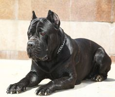 Cane Corso | Dog Breed Gallery