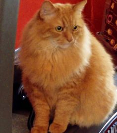 Another great pic of our Maine Coon mix Charlie.  Nothing like a dog-like cat to make a dog person like a cat!! ha ha ha