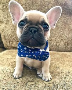 French Bulldog Puppy French Bulldog Puppy French Bulldog Dog
