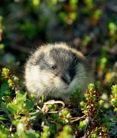 Lemmings are fat little rodents that can over-populate the arctic tundra. They are a very important food to carnivores.