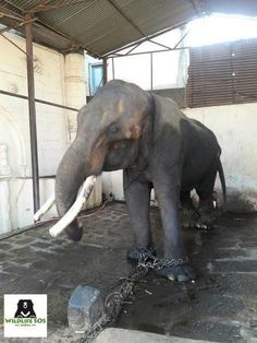 Elephant Who Spent Decades In Dark Room Can't Stop Smiling Now Asian Elephant, Elephant Love, Kindness To Animals, Animals And Pets, Cute Animals, Elephant Pictures, Save The Elephants, Stop Animal Cruelty, Gentle Giant