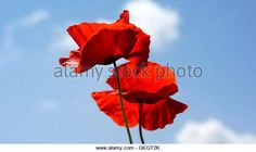 Red Poppy Macro - Roter Klatschmohn Makro - Stock Image; Lizenz zu erwerben: http://www.alamy.com/search/imageresults.aspx?qn=Eva-Maria%20Di%20Bella&sortby=1/
