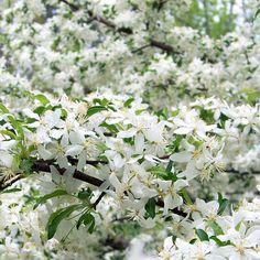 malus transitoria - fioritura generosa White Trees, Plants, Plant, Planets