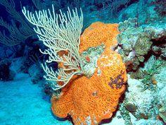 sea rod coral and elephant ear sponge