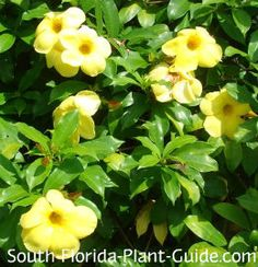 Allamanda vine is one of South Florida's most popular vines for glorious color and ease of care. With big, beautiful flowers as much as 4 inches across, it blooms on and off all year.