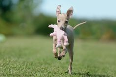 Italian Greyhound puppies have soooo much energy.  Just try keeping up with one for years!