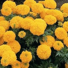 Marigold Inca 2 Gold.  Four inch flowers are true gold and fully double. Annual flower seeds.