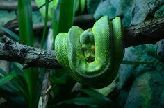 the green tree python. beautiful snake.