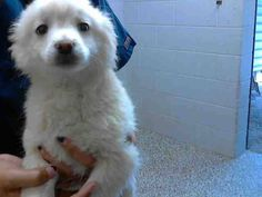 #A475273 Came in with sibling #A475275 I am a male, white Pomeranian. Shelter staff think I am about 8 weeks old. I have been at the shelter since Oct 31, 2014.  http://www.petharbor.com/pet.asp?uaid=SBCT.A475273  San Bernardino City Animal Control 333 Chandler Place San Bernardino, CA 92408 Phone Number: (909) 384-1304 Fax Number: (909) 384-5438 —