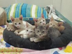 Kittens - Foster Home PP is an adoptable Domestic Short Hair - Buff And White Cat in Duxbury, MA.  Every day is KittiePawLooza Day at Standish Humane Society! Hi! We are SEVEN little kittens, 3 months...