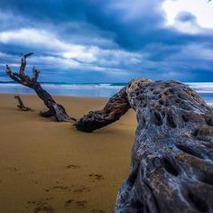 Beautiful stranded washed up tree / branch in Lorne. It's been sitting there for a few days and I take a photo of it whenever I go by. This morning it was overcast but beautiful. The knots in the branch made for a nice pattern. #Lorne #washedup #beach #beachcombing #happiness #greatoutdoors #greatoceanroad #australianbeaches #australiannature #victoria #australia #aussiesummer #driftwood #tree #branch #instaphoto by plumbelly http://ift.tt/1IIGiLS