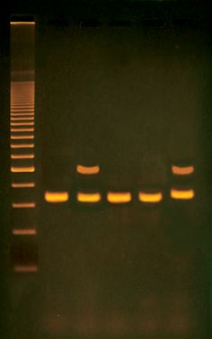333 - Alu Human DNA Typing Using PCR