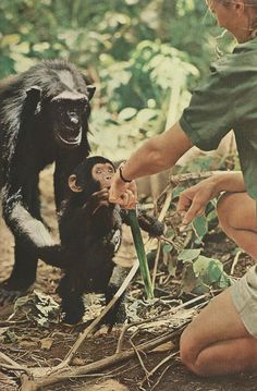 vintagenatgeographic: Little Flint introduces himself, but Mother Flo keeps a protective hold around his waist. Jane Goodall extends the back of her hand, fingers turned away, telling Flo that she intends no harm National Geographic Jane Goodall, Chimpanzee, Orangutan, Primates, Baby Animals, Cute Animals, Animals Images, Wild Animals, Mundo Animal