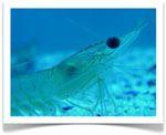 ¿Qué es el krill? #AceiteDeKrill