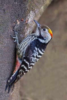 Photograph Brown-Fronted Woodpecker by Jon Chua on 500px