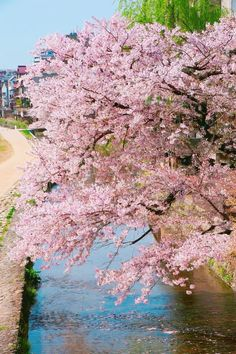 Spring Blossom, Kyoto Japan, Flowering Trees, Unique Image, Aesthetic Photo, Pretty Pictures, Travel Photos, Nature Photography, Beautiful Places