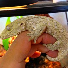 New Caledonia Giant Gecko