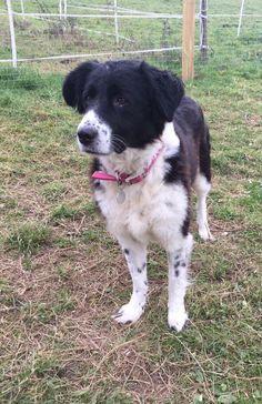 Maja  8 year old female Collie Cross #cutedogs #cute #dogs #dog #pets #babblepets