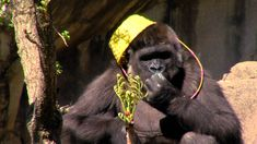Gladys the Gorilla Goes On Her First Easter Egg Hunt At the Cincinnati Zoo