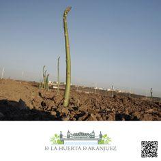 Espárragos de Aranjuez