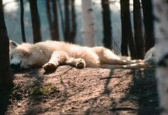 At first, I thought how strange that a wolf is sleeping alone like this, but, upon a closer look, I realized that there is another wolf there.