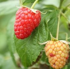 How to Grow Raspberry Plants From Seeds
