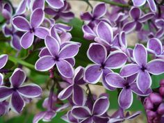 Sensation Lilac - french hybrid with white and purple variegated flowers