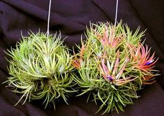 Air Plant DESIGN Propegate airplants How To Buy A Good Sofa Your sofa seats your guests when you do Cactus Plants, Garden Plants, House Plants, Moss Garden, Garden Shrubs, Hanging Air Plants, Indoor Plants, Indoor Herbs, Indoor Gardening