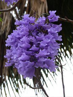 but the flowers are amazing! Blue And Purple Flowers, Purple Trees, Exotic Flowers, Amazing Flowers, Love Flowers, Flower Images, Flower Pictures, Beautiful Flowers Wallpapers, Special Flowers