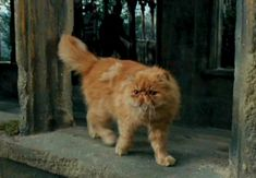 Hermione Granger's shaggy orange cat Crookshanks (played by cat actors Crackerjack and Pumpkin) first appears in Harry Potter and the Prisoner of Azkaban Harry Potter Quiz, Harry Potter Couples, Harry Potter Universal, Harry Potter Characters, Hermione's Cat, Grumpy Cat, Kitty Cats, Hogwarts, Slytherin