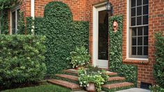 Creeping fig can dress up any brick home with just a few plants.