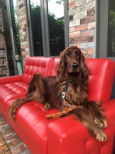 Most Beautiful Dogs, Animals Beautiful, Red And White Setter, Irish English, Irish Setter Dogs, Gordon Setter, Cute Dogs And Puppies, Old Dogs, Hound Dog