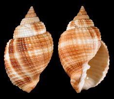 Cancellaria reticulata (LInne), Common Nutmeg, Bailey Matthews National Shell Museum