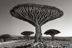 """Ainda no Iêmen, em 2010, Beth Moon fotografou a floresta Shebehon para o projeto """"Retratos do Tempo"""".  Fotografia: Beth Moon/Galeria FASS/São Paulo."""