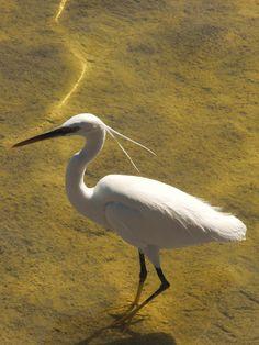 Egret in the Red Sea, Sharm el Sheikh