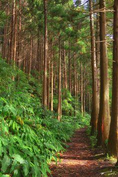 Sete Cidades forest - Sete Cidades forest